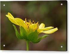 Acrylic Print featuring the photograph Hairy Leafcup by Paul Rebmann