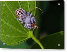 Hairy White Spider Eating A Bug Acrylic Print by Craig Lapsley