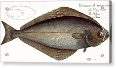 Halibut Acrylic Print by Andreas Ludwig Kruger