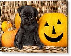Halloween Pug Acrylic Print by Greg Cuddiford