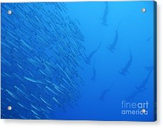 Hammerhead Sharks By School Of Fishes Acrylic Print by Sami Sarkis