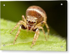 Hammerjawed Jumper I Acrylic Print by Clarence Holmes