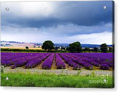 Hampshire Lavender Field Acrylic Print