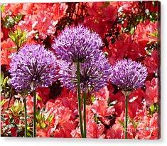 Hampton Court Palace Gardens Acrylic Print