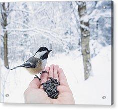 Hand Feeding A Black-capped Chickadee Acrylic Print by Julie DeRoche