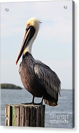 Handsome Brown Pelican Acrylic Print by Carol Groenen