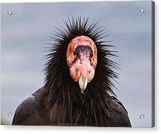 Handsome California Condor Acrylic Print