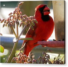 Handsome Red Male Cardinal Visiting Acrylic Print by Belinda Lee