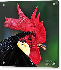 Handsome Rooster Acrylic Print by Kaye Menner