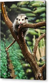 Hang In There Baby Acrylic Print