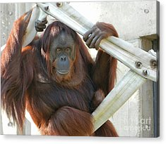 Acrylic Print featuring the photograph Hanging Out - Melati The Orangutan by Emmy Marie Vickers