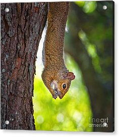 Hanging Squirrel Acrylic Print by Stephanie Hayes
