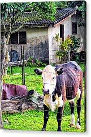 Acrylic Print featuring the photograph Hanzawa Cow 1 by Dawn Eshelman