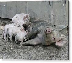 Happier Than Pig In Slop Acrylic Print by David Simons