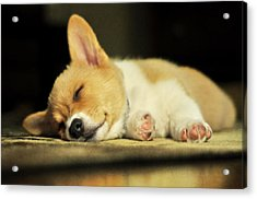 Happiness Is A Warm Corgi Puppy Acrylic Print