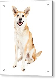 Happy Australian Cattle Dog And Shiba Inu Mix Acrylic Print