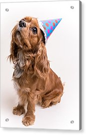 Happy Birthday Dog Acrylic Print