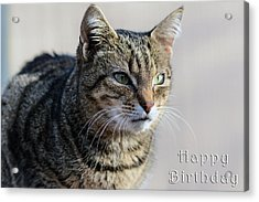 Happy Birthday Tabby Acrylic Print