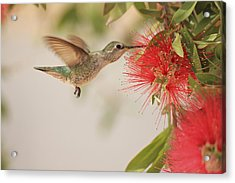 Happy Humming Acrylic Print
