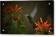 Happy Little Hummingbird  Acrylic Print