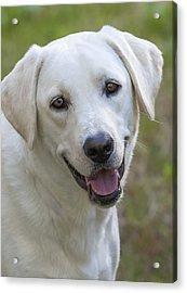 Acrylic Print featuring the photograph Happy Lab by Stephen Anderson