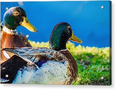 Happy Little Ducks  Acrylic Print by Naomi Burgess