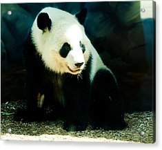 Happy Panda Acrylic Print by Paige Sims