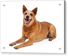 Happy Red Heeler Dog Laying  Acrylic Print