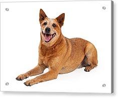 Happy Red Heeler Dog Laying  Acrylic Print by Susan Schmitz
