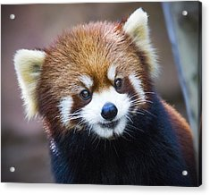 Happy Red Panda Acrylic Print