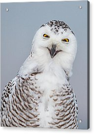 Happy Snowy Owl Acrylic Print