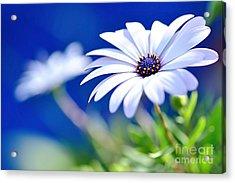 Happy White Daisy 2- Blue Bokeh  Acrylic Print by Kaye Menner