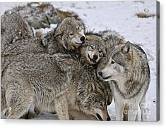 Happy Wolf Pack Acrylic Print by Wolves Only