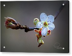 Acrylic Print featuring the photograph Harbinger Of Spring by Ludwig Keck