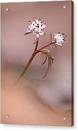 Harbinger Of Spring Acrylic Print by Robert Charity