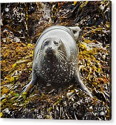 Harbor Seal Acrylic Print