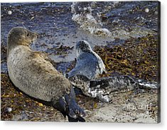 Harbor Seal Nursing Acrylic Print by George Oze