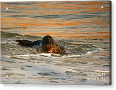 Acrylic Print featuring the photograph La Jolla Seal Sunset by John F Tsumas