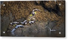 Harbor Seals Acrylic Print