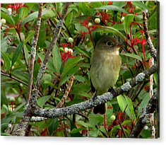 Acrylic Print featuring the photograph Hardly The Least Least Flycatcher by Kimberly Mackowski
