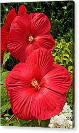 Hardy Hibiscus Acrylic Print by Sue Smith