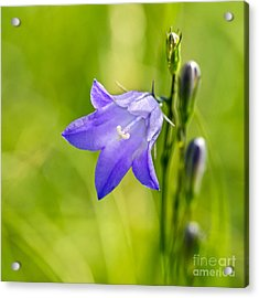 Harebell Acrylic Print by Dee Cresswell