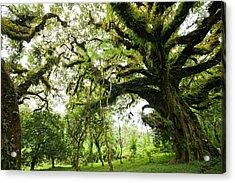 Harenna Forest Acrylic Print