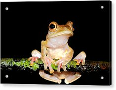 Harlequin Flying Frog, Malaysia Acrylic Print