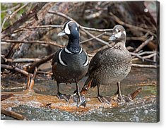Acrylic Print featuring the photograph Harlequin Pair by Jack Bell