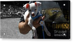 Harley's Baby Acrylic Print by Steven Digman