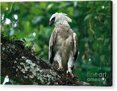 Harpy Eagle Acrylic Print