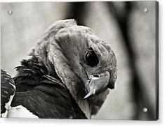 Harpy Eagle Closeup Acrylic Print