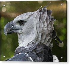 Harpy Eagle, Harpia Harpyja Acrylic Print by Jon G. Fuller