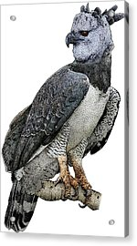 Harpy Eagle, Harpia Harpyja Acrylic Print